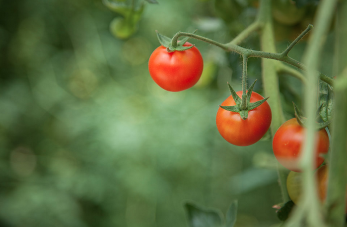 Photo of three tomatoes on a vine with the background out of focus creating a lush green background against which the red tomatoes stand out.